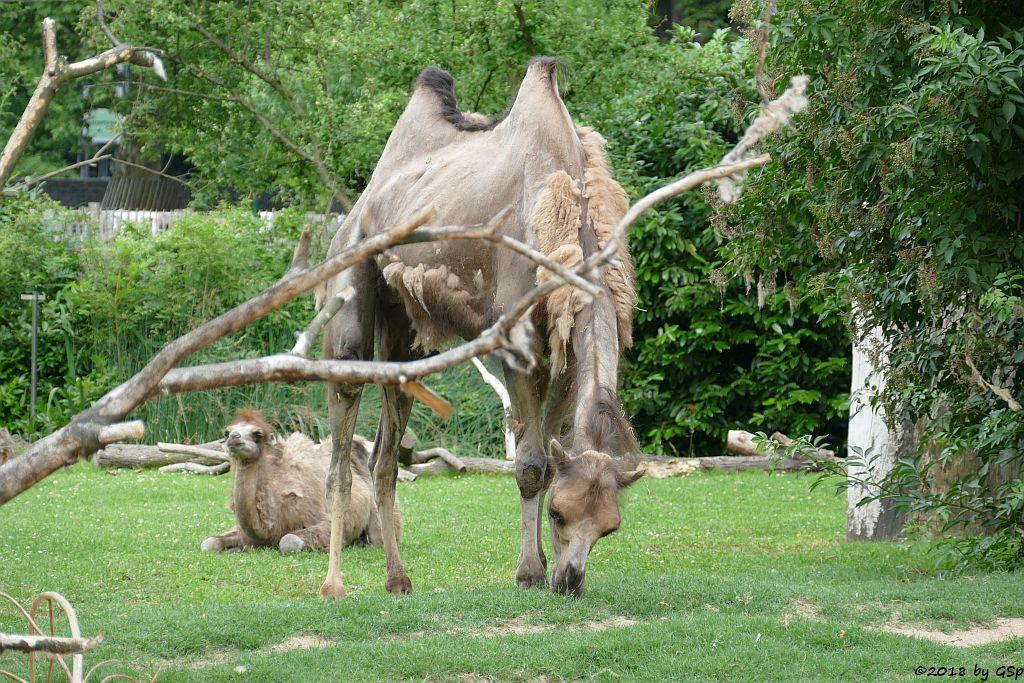 Trampeltier (Zweihöckriges Kamel), Jungtier geb. am 10.4.18 (10 Wochen)