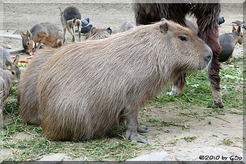Capybara, Mara