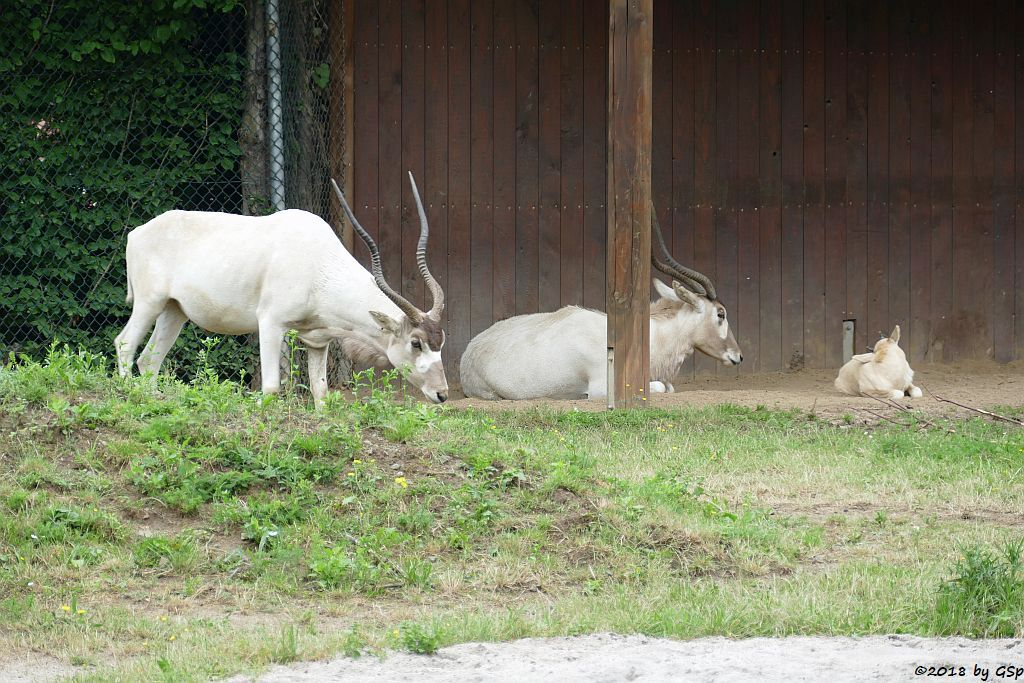 Mendesantilope (Addax), Jungtier geb. am 19.5.18 (4 Wo)