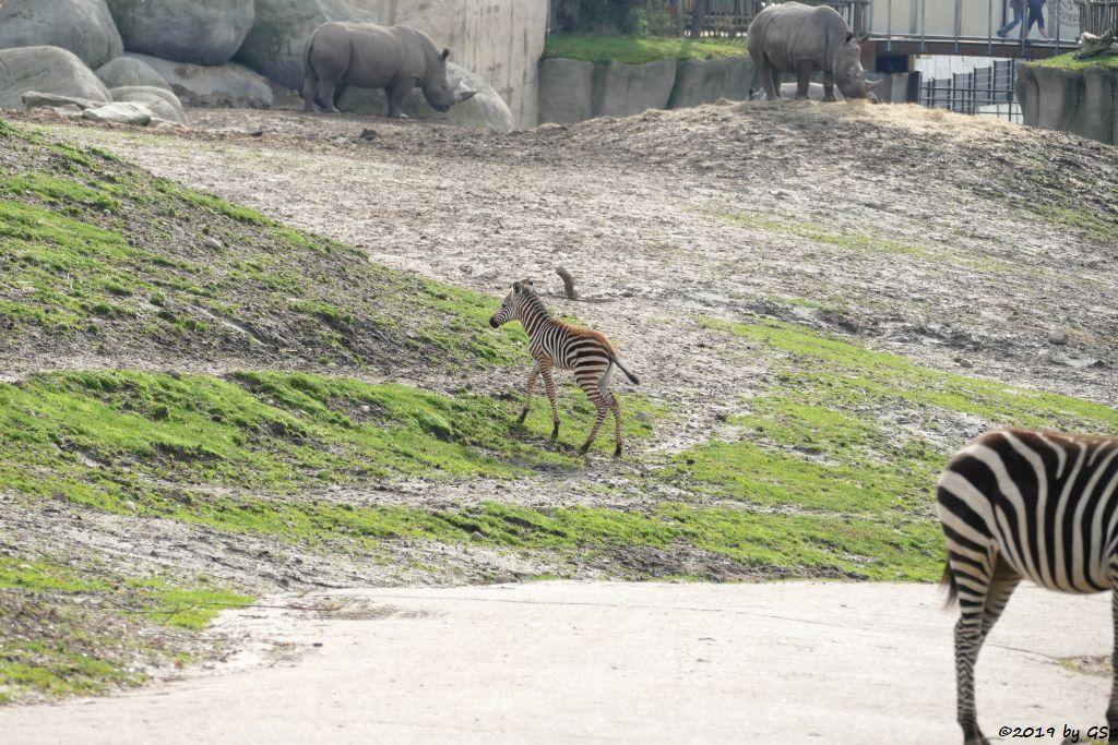 Böhm-Steppenzebra (Grant-Zebra), Südliches Breitmaulnashorn