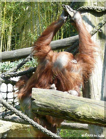 Borneo-Orang-Utan mit Ito, geb. 26.12.06