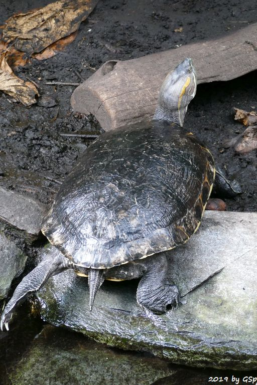Terekay-Schienenschildkröte (Einbartel-Schienenschildkröte, Terekay-Schildkröte)