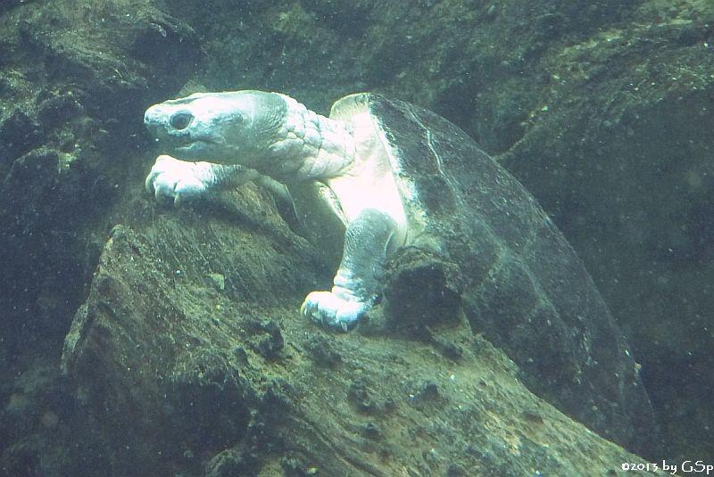 Borneo-Flussschildkröte