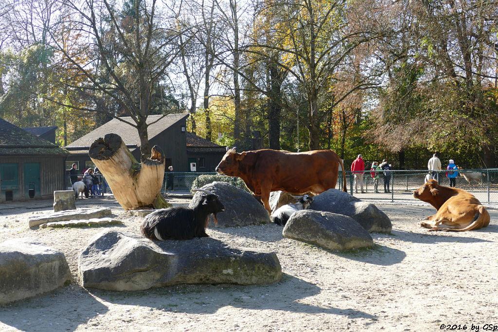 Murnau-Werdenfelser Rind, Afrikanische Zwergziege (Westafrikanische Zwergziege, Kamerun-Zwergziege)