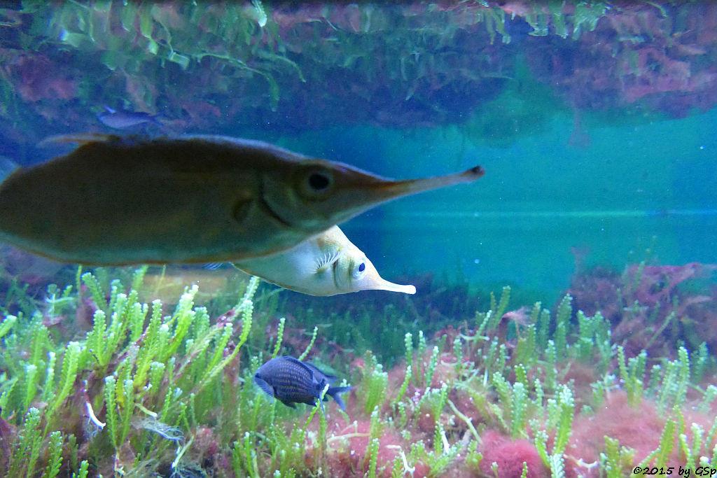 Gewöhnlicher Schnepfenfisch, Mönchsfisch