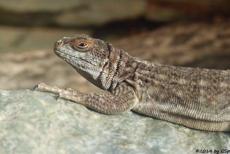 Madagaskar-Leguan