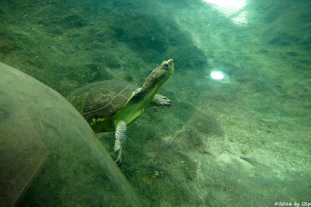 Rotbauch-Spitzkopfschildkröte