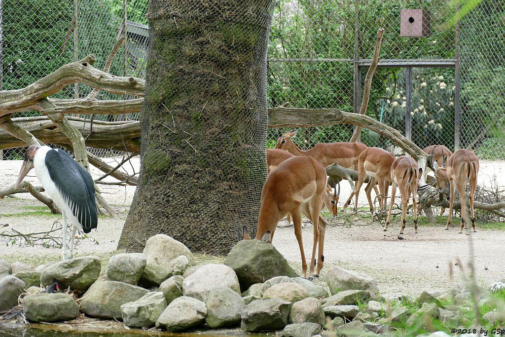 Afrikanischer Marabu, Gewöhnliche Impala (Schwarzfersenantilope)