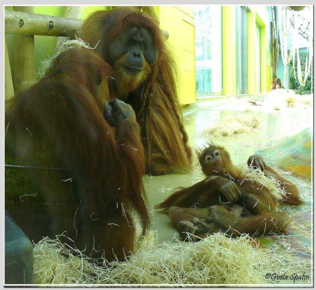 Orang-Utan-Familie-Bruno, Matra und Anni