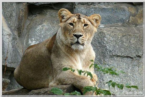 Indischer Löwe