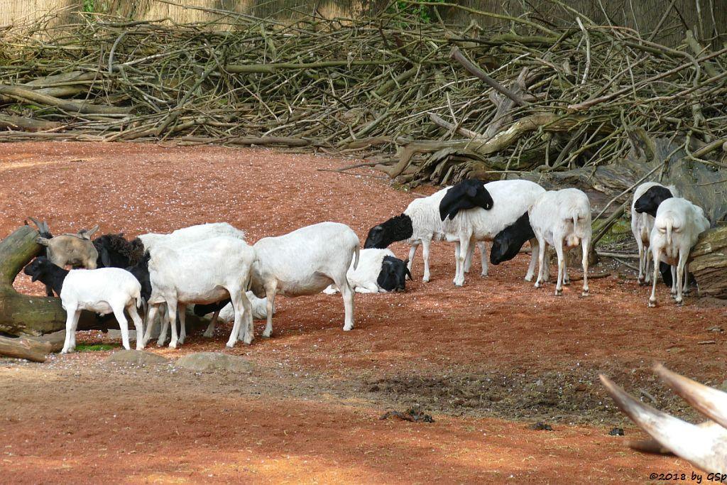 Somaliaschaf (Somali-Fettsteißschaf, Somali-Schwarzkopfschaf)
