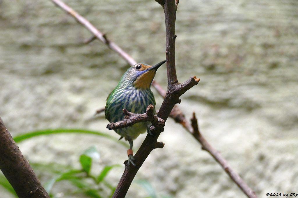 Kobaltnaschvogel (Purpurnaschvogel, Gelbfußhonigsauger)