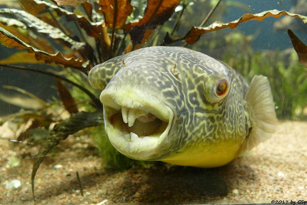 Goldringel-Kugelfisch (Riesenkugelfisch, Teppichkugelfisch, Kongokugelfisch)
