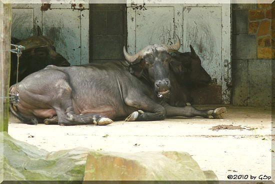 Kaffernbüffel (Afrikanischer Büffel)