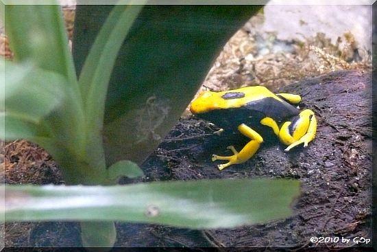 Färberfrosch