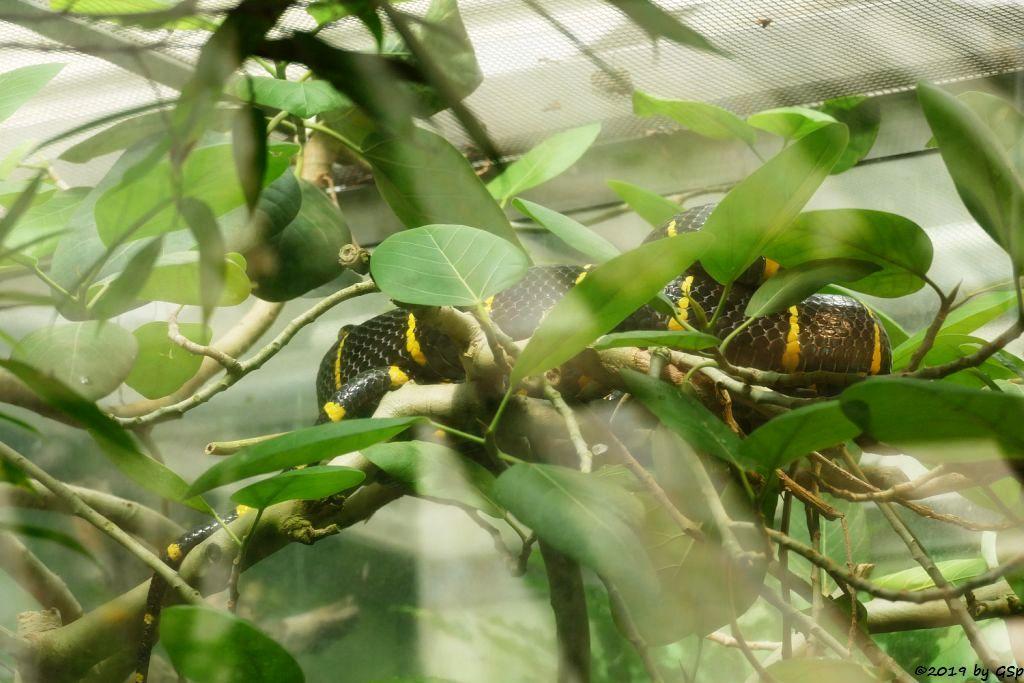 Mangroven-Nachtbaumnatter