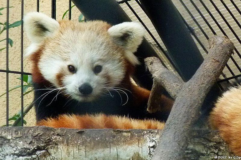 Kleiner Panda.