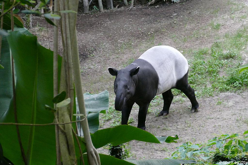Schabrackentapir (Malaysischer Tapir) KETIGA