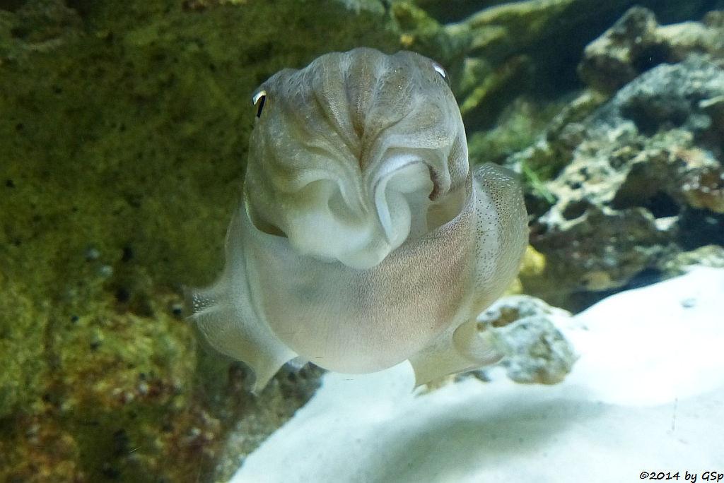 Sepia (Gewöhnlicher Tintenfisch)