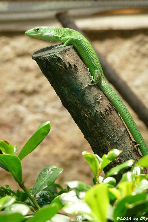 Grüne Baumeidechse