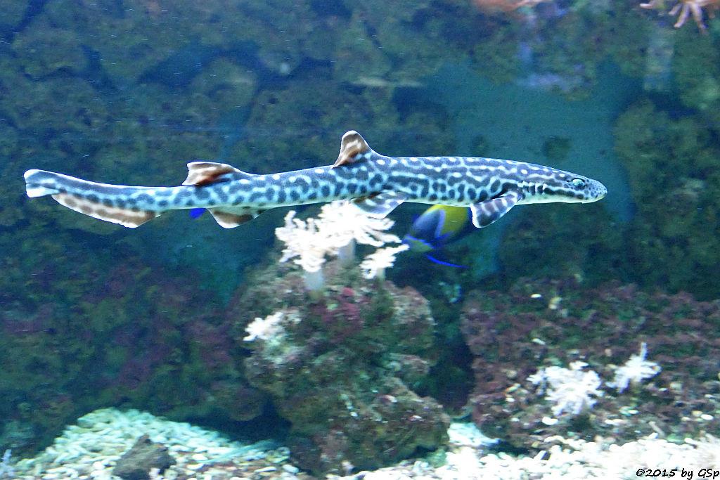 Korallen-Katzenhai