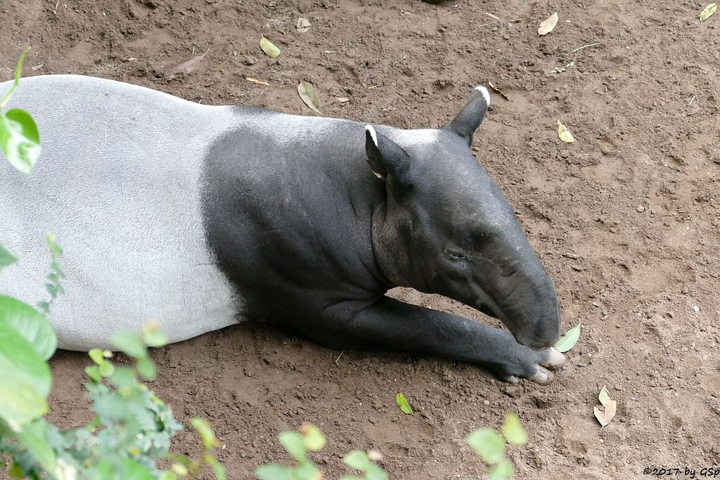 Schabrackentapir (Malaysischer Tapir) LAILA