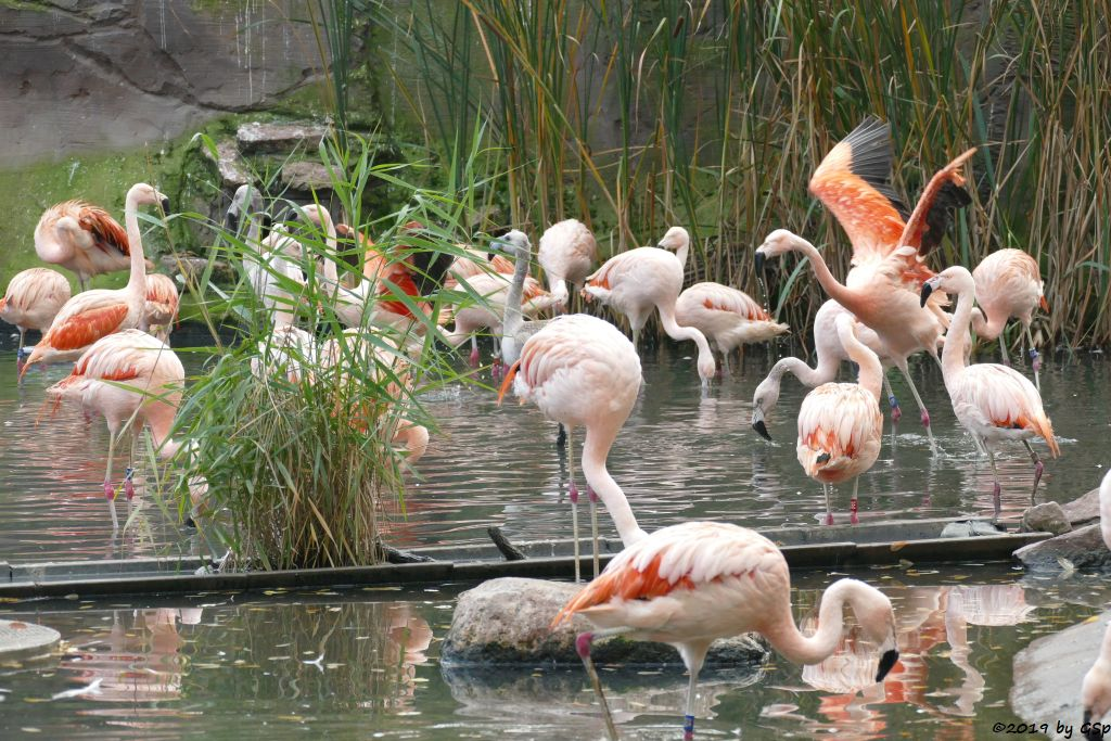 Chileflamingo (Chilenischer Flamingo)
