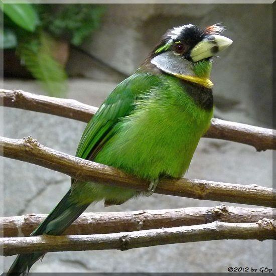 Rotbüschel-Bartvogel
