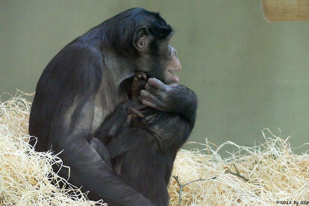 Bonobo (Zwergschimpanse)