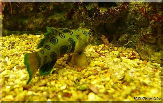 Paletten-Leierfisch