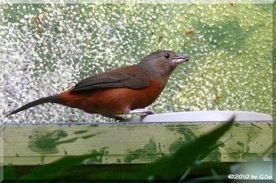 Montserrat-Trupial-Weibchen