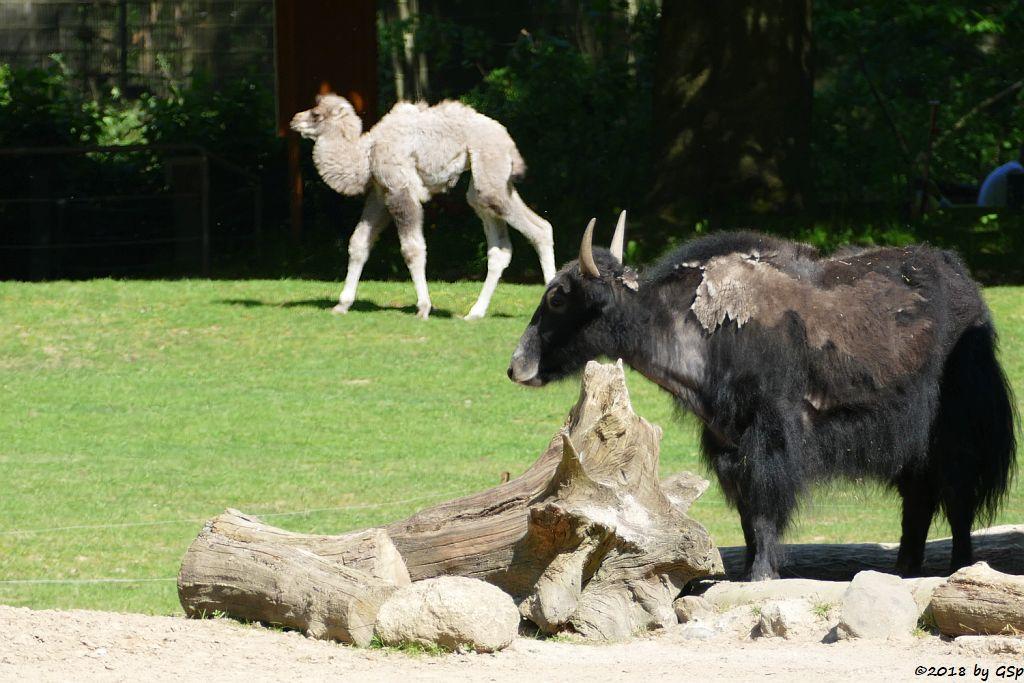 Trampeltier (Zweihöckriges Kamel, Hauskamel), Hausyak