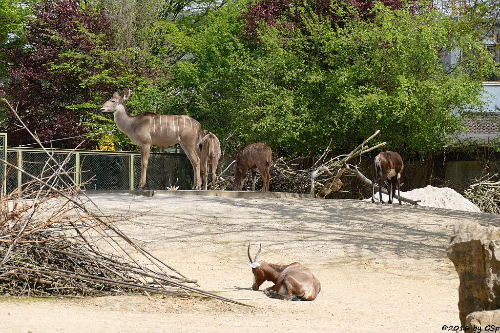 Großer Kudu, Blessbock