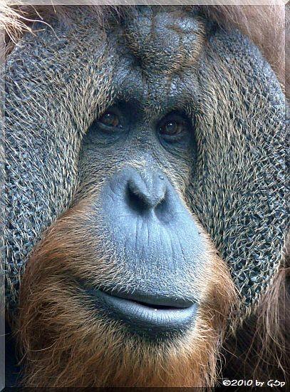 Sumatra-Orang-Uta KEJAN