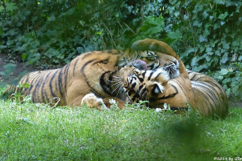 Sumatratiger DJHALA und BERANI