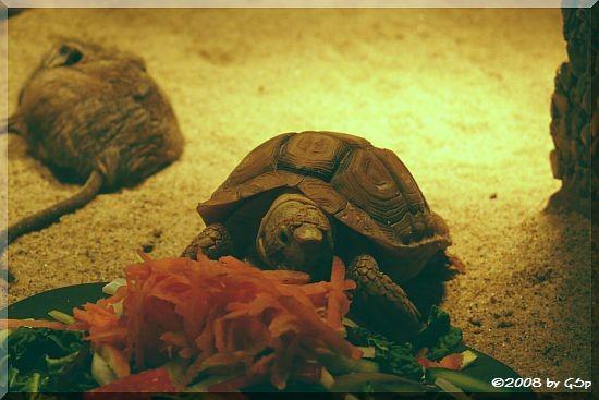 Areolen-Flachschildkröte