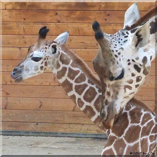 Rothschild-Giraffe MELMAN