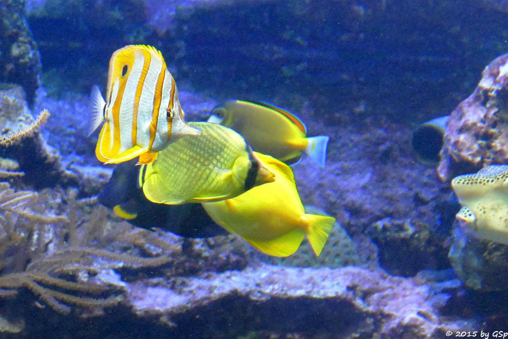 Streifenpinzettfisch, Raffles Schmetterlingsfisch, Gelber Segeldoktor, Weißwangendoktor