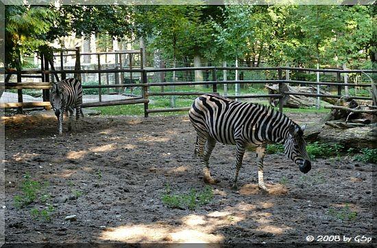 Chapman-Zebra