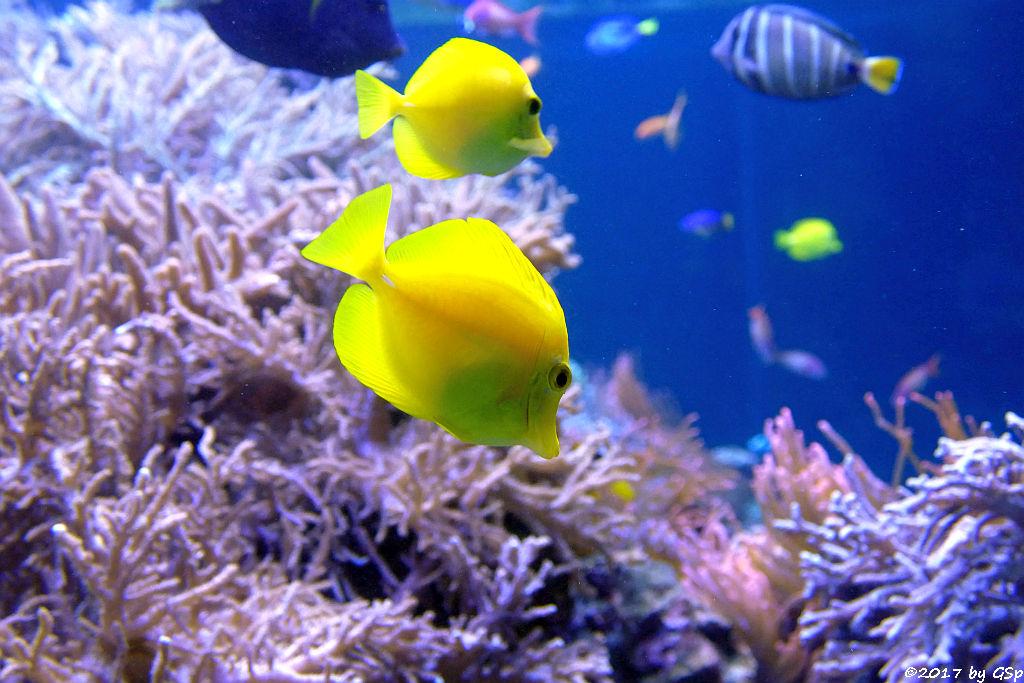 Gelber Segelflossen-Doktorfisch (Zitronenflossen-Doktorfisch, Hawaii-Doktorfisch)