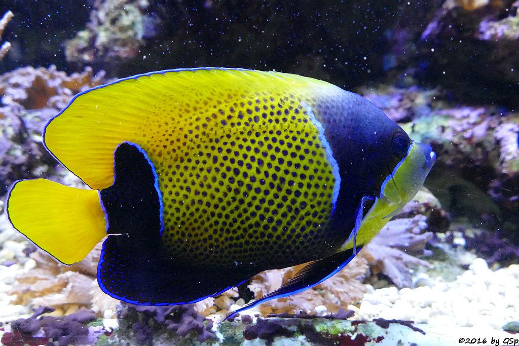 Traumkaiserfisch (Blaugrütel-Kaiserfisch)