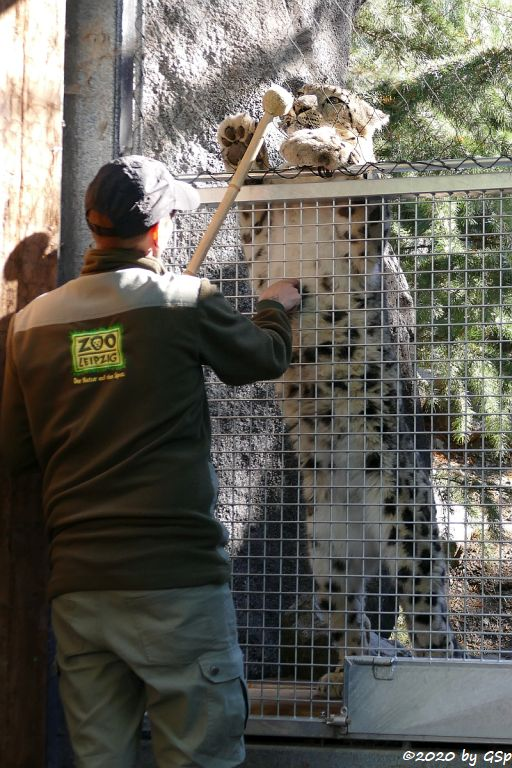 Schneeleopard (Irbis, Unze) ASKAR