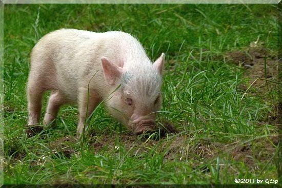 Hängebauchschwein