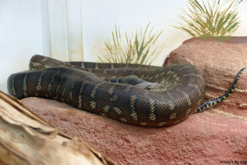 Bredl Python (Bredls Python, Zentralaustralischer Python)