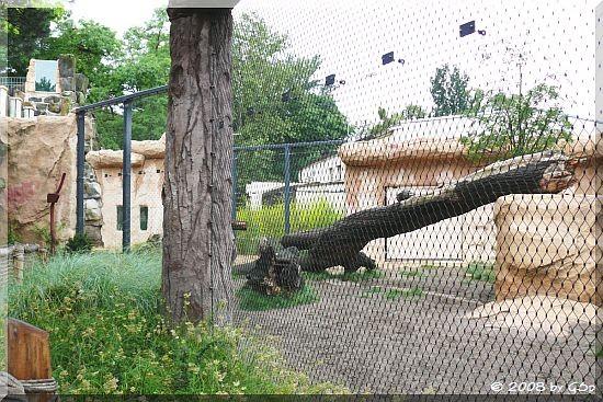 Löwen-Außengehege