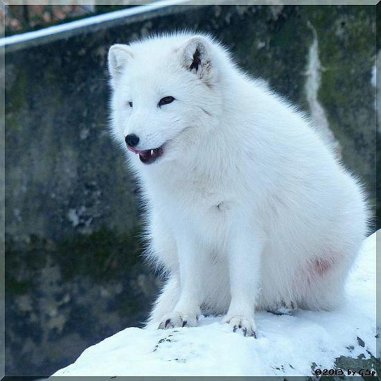 Eisfuchs (Polarfuchs)