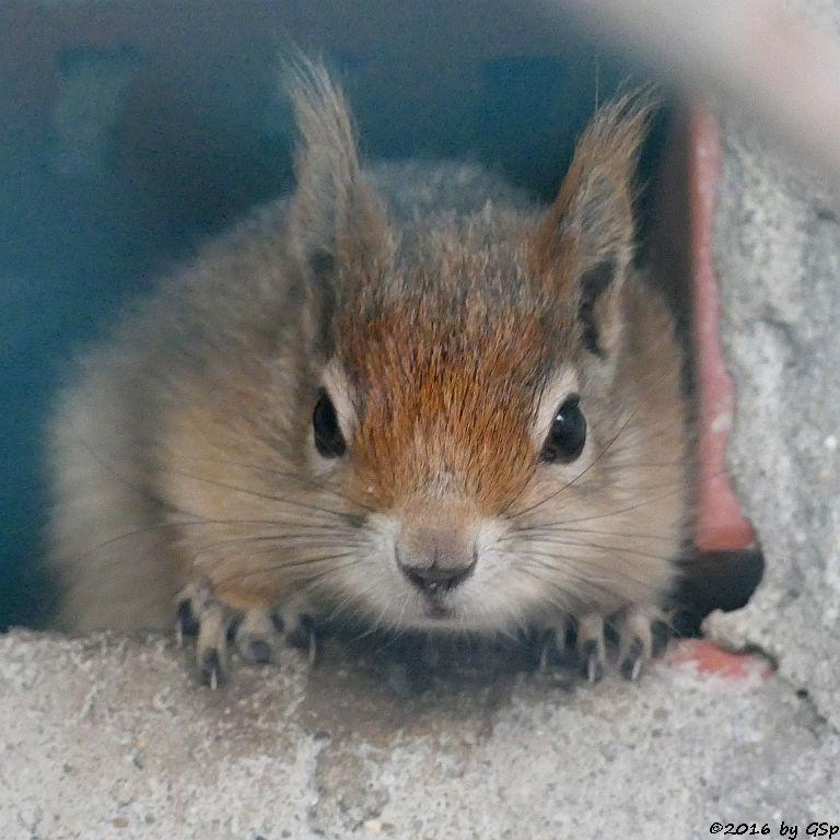 Kaukasisches Eichhörnchen (Persisches Eichhörnchen)