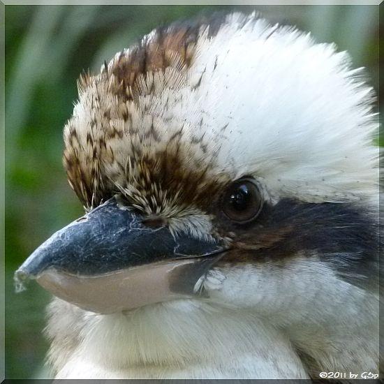 Lachender Hans (Kookaburra)