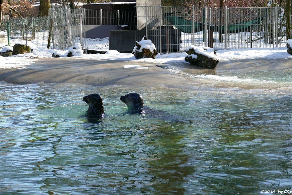 Ostatlantischer Seehund (Europäischer Seehund)