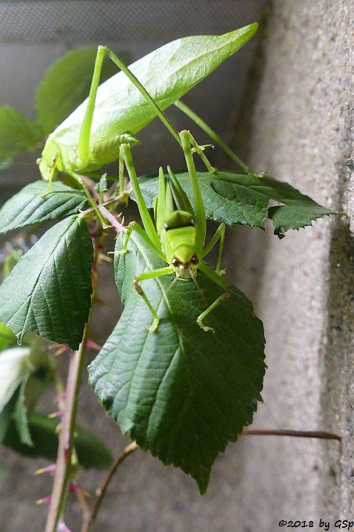 Riesen Blattschrecke
